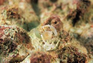沖縄本島・恩納村で 「サンゴヒメエビ属の一種」発見!